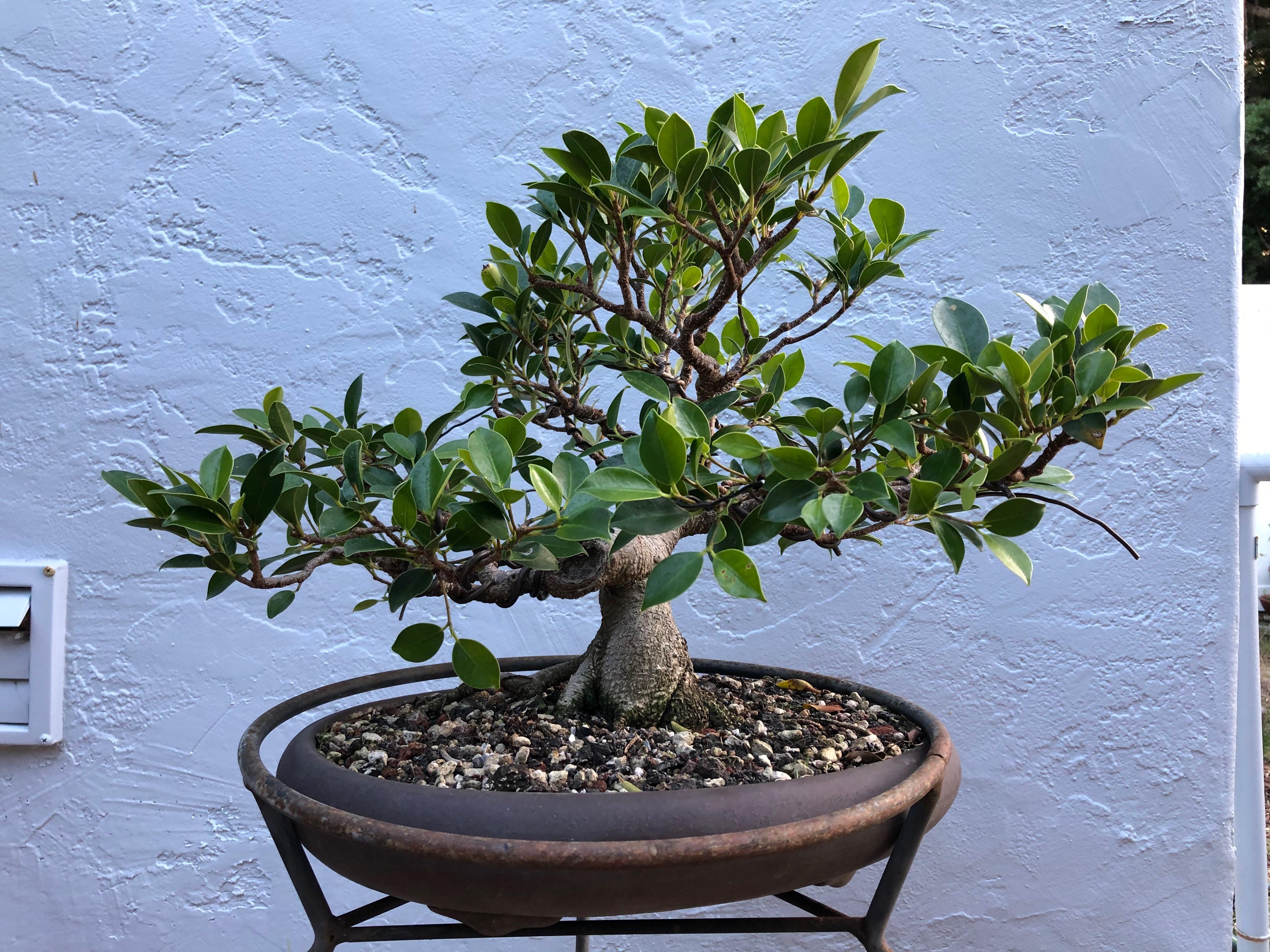 Tiger Bark Ficus Ficus Microcarpa Beginbonsai